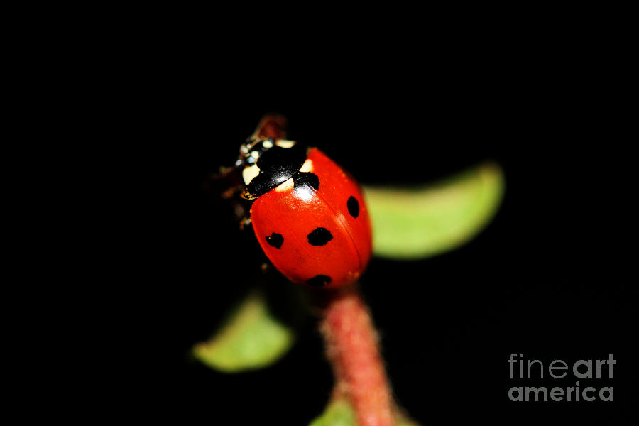 Lady Bug Climb Photograph  - Lady Bug Climb Fine Art Print