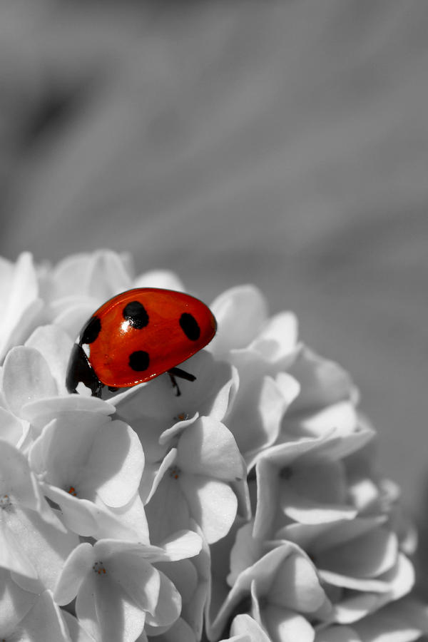 Lady Bug Sc Photograph  - Lady Bug Sc Fine Art Print
