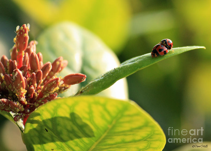 Lady Bugs Mating Photograph