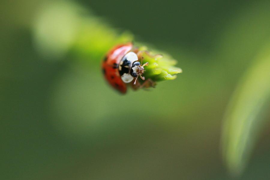 Ladybug Photograph - Ladybug 2 by Pan Orsatti