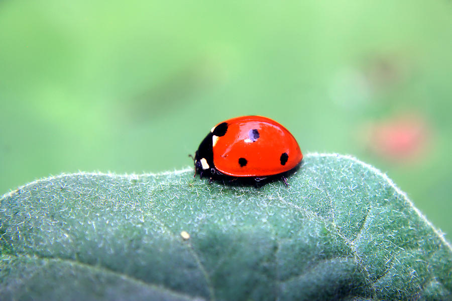 Insect Photograph - Ladybug II by Ester  Rogers