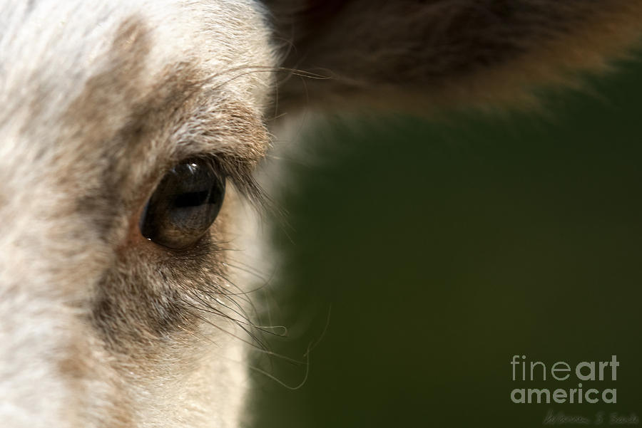 Lamb Eyelashes Photograph
