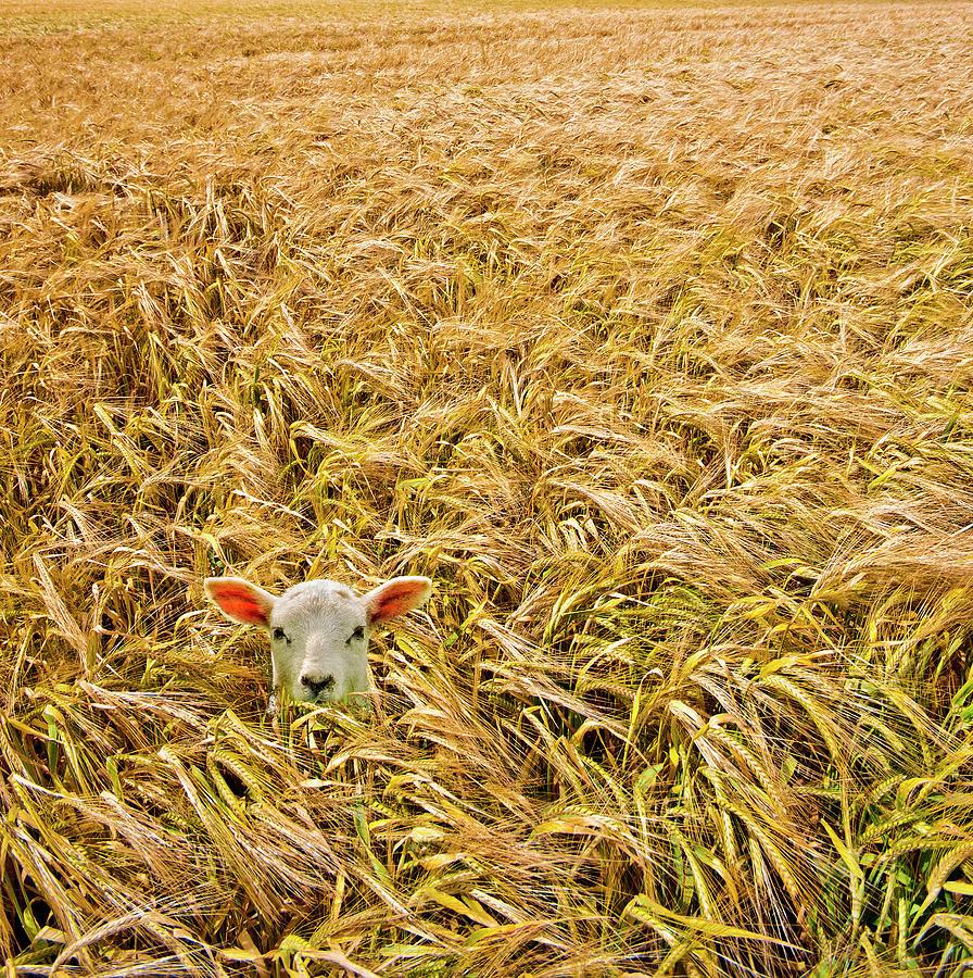 Lamb With Barley Photograph