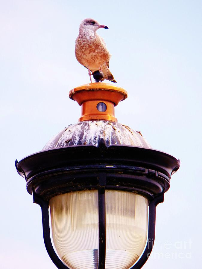 Seagull Photograph - Lampost Gull   One by Judy Via-Wolff