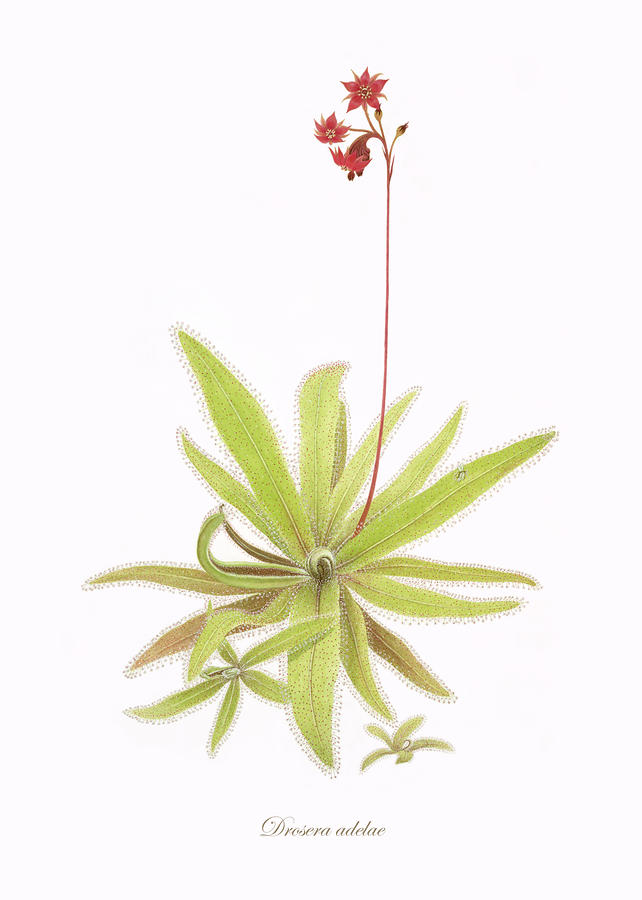 Lance Leaved Sundew Painting  - Lance Leaved Sundew Fine Art Print