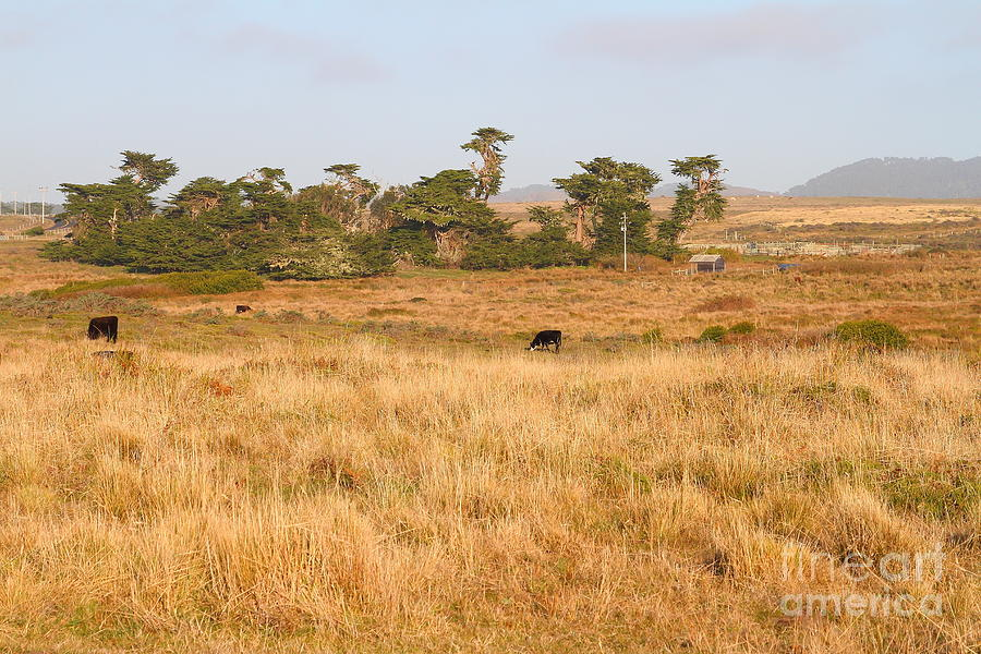 Landscape With Cows Grazing In The Field . 7d9957 Photograph