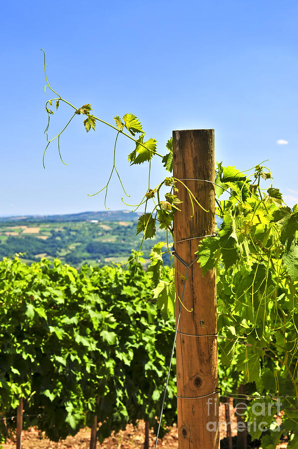 Landscape With Vineyard Photograph