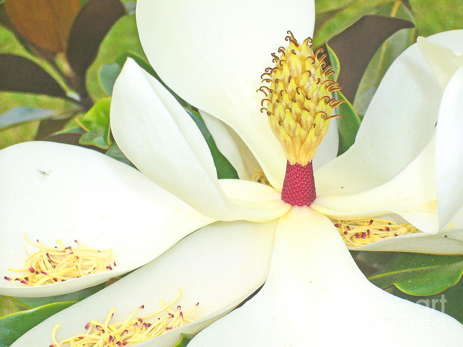 Large Magnolia In Color Photograph