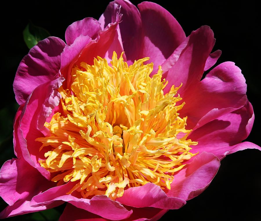 Flora Photograph - Large Pink Peony by Bruce Bley