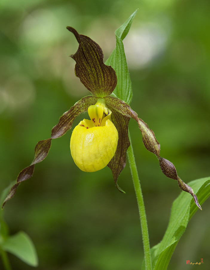 Large Yellow Lady Slipper Orchid Dspf251 Photograph  - Large Yellow Lady Slipper Orchid Dspf251 Fine Art Print