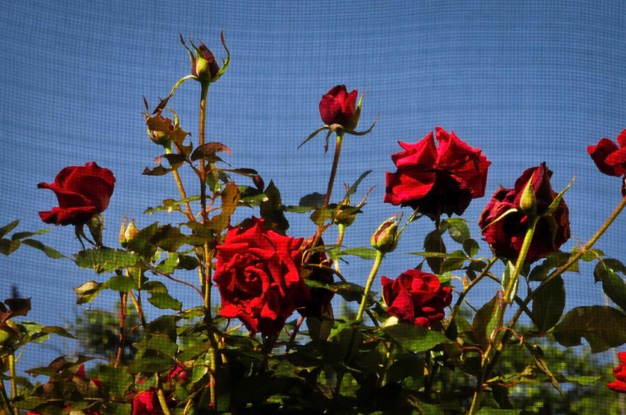 Las Rosas Photograph
