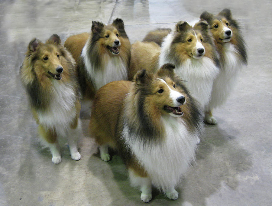 Lassie Times Five is a...