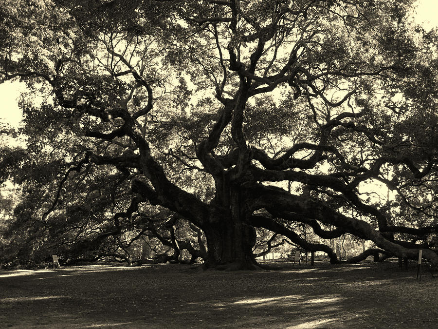 Last Angel Oak 72 Photograph  - Last Angel Oak 72 Fine Art Print