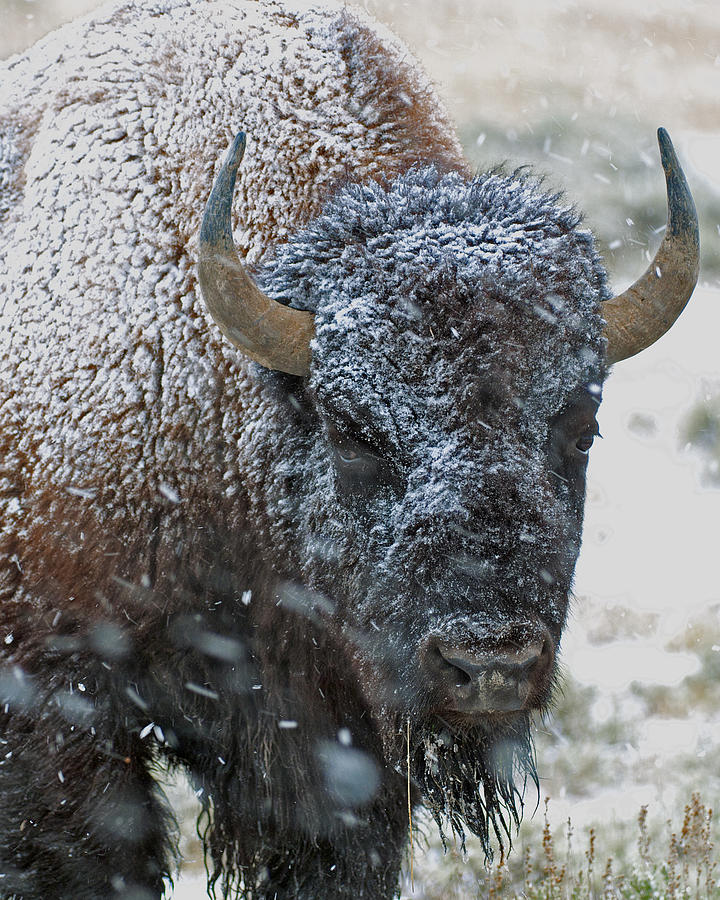 Late Spring Snow Buffalo Photograph  - Late Spring Snow Buffalo Fine Art Print