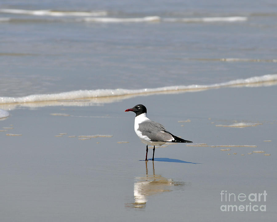 Laughing Gull Reflecting Photograph  - Laughing Gull Reflecting Fine Art Print
