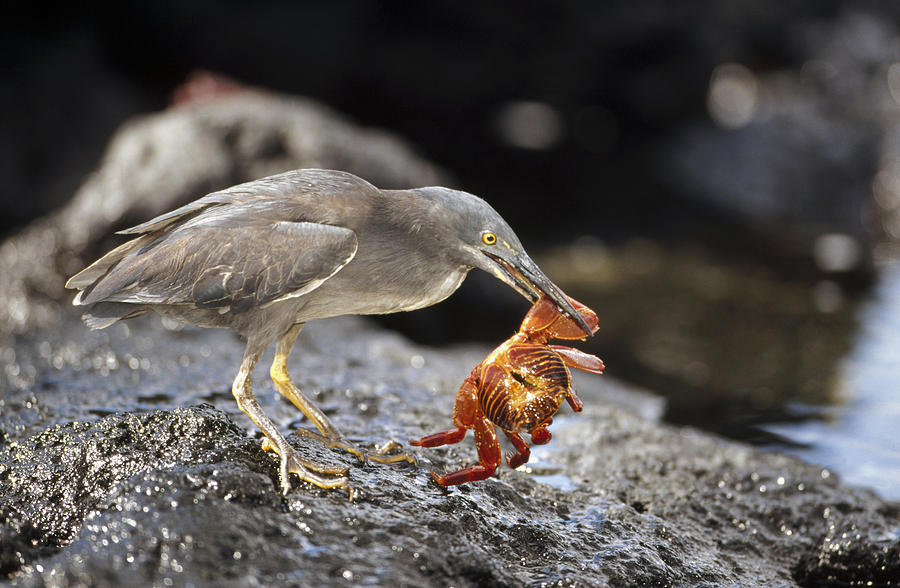 Lava Heron Butorides Sundevalli Preying is a photograph by Tui De Roy ...