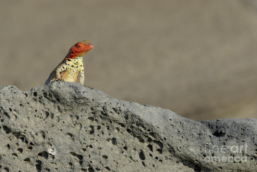 Lava Lizard On Lava Rock Photograph