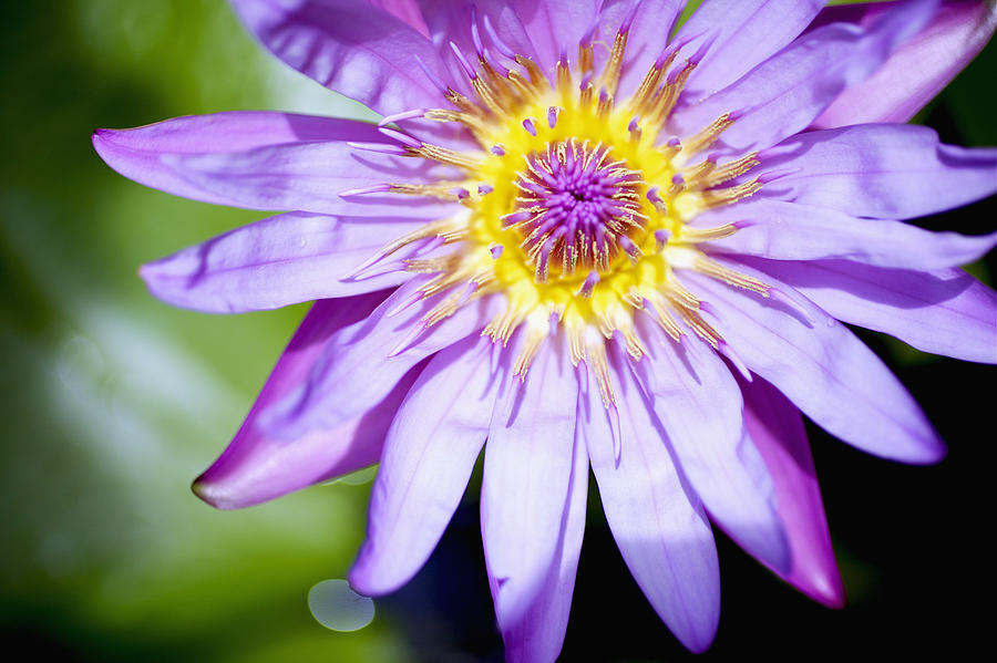 Lavendar Water Lily Photograph