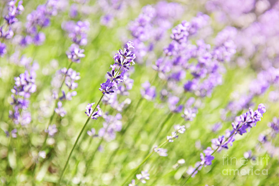 Lavender Blooming In A Garden Photograph  - Lavender Blooming In A Garden Fine Art Print