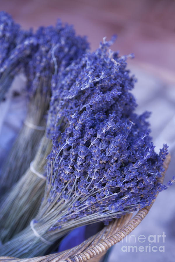 Lavender Bunches In Provence Photograph  - Lavender Bunches In Provence Fine Art Print