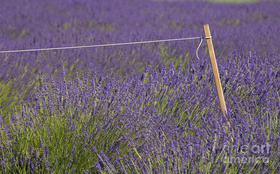 Lavender Fields  Photograph