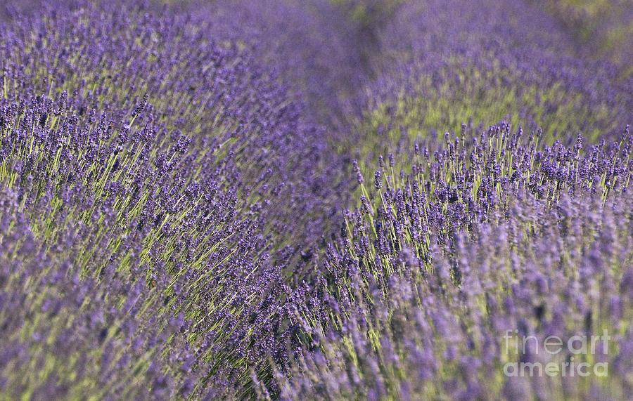 Lavender Fields Heart Photograph