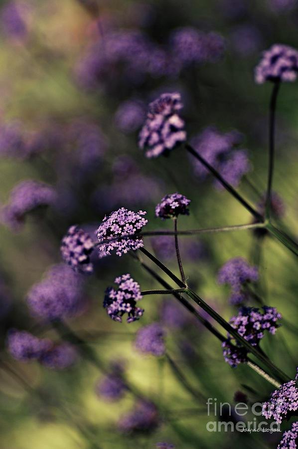 Lavender Garden I Photograph