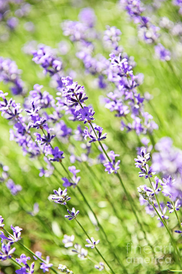 Lavender In Sunshine Photograph  - Lavender In Sunshine Fine Art Print