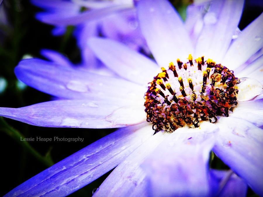 Lavender Senetti Photograph