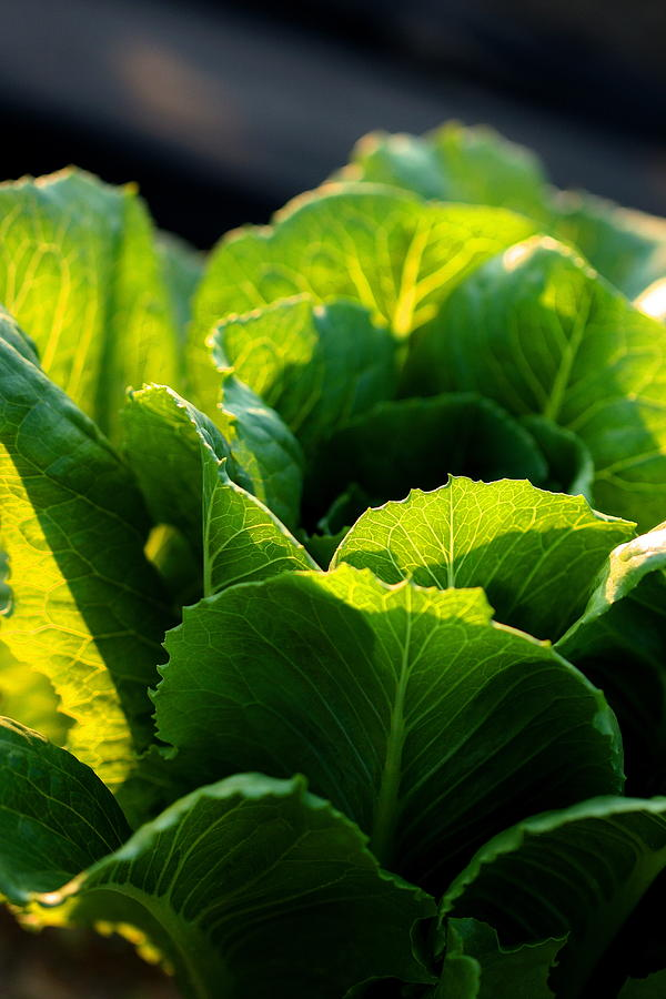 Layers Of Romaine - Vertical Photograph