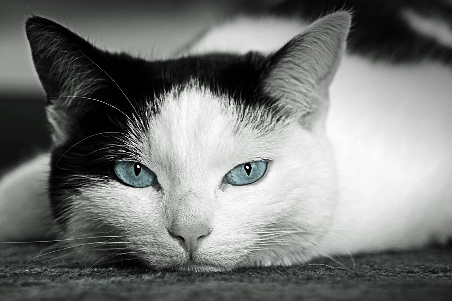 Lazy Cat Photograph  - Lazy Cat Fine Art Print