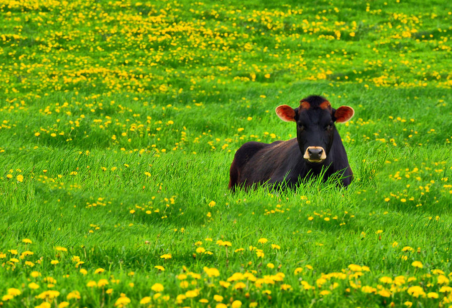 Lazy Day Cow Photograph  - Lazy Day Cow Fine Art Print