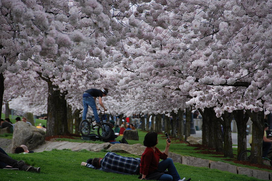 Day under the cherry blossoms in waterfront park in portland oregon by