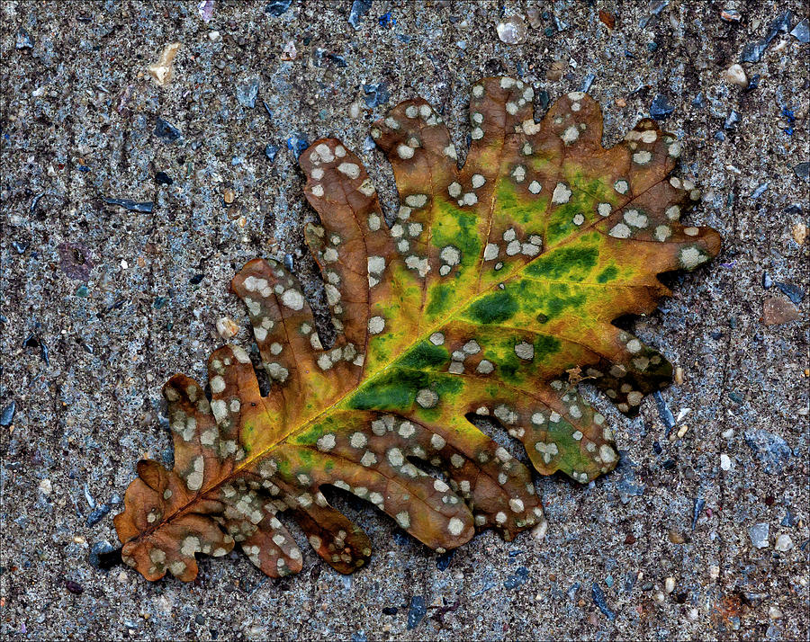 Leaf On The Sidewalk Photograph  - Leaf On The Sidewalk Fine Art Print