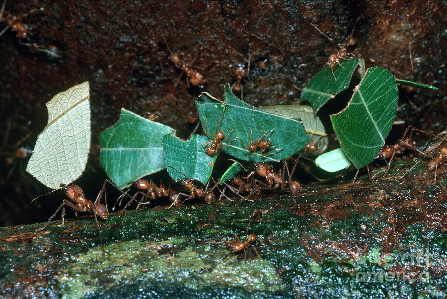 Leafcutter Ants Photograph - Leafcutter Ants by Gregory G. Dimijian