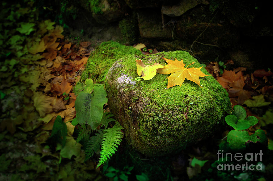 Leafs On Rock Photograph  - Leafs On Rock Fine Art Print