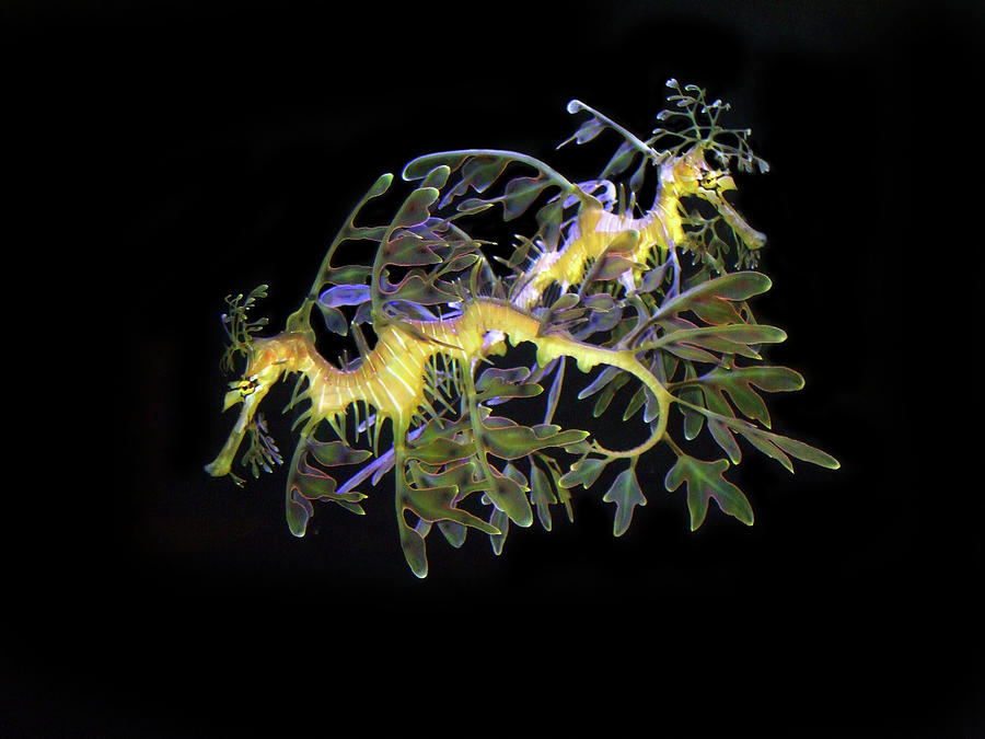 leafy-sea-dragons-anthony-jones.jpg