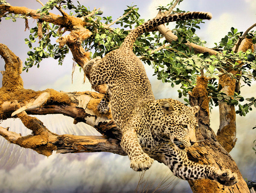 Leaping Leopard Photograph