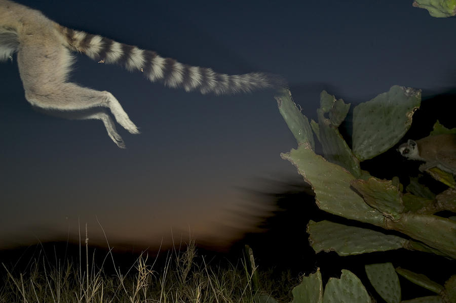 Leaping Ring-tailed Lemur  Photograph
