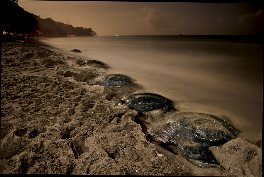 Outdoors Photograph - Leatherback Turtles Nesting On Grande by Brian J. Skerry