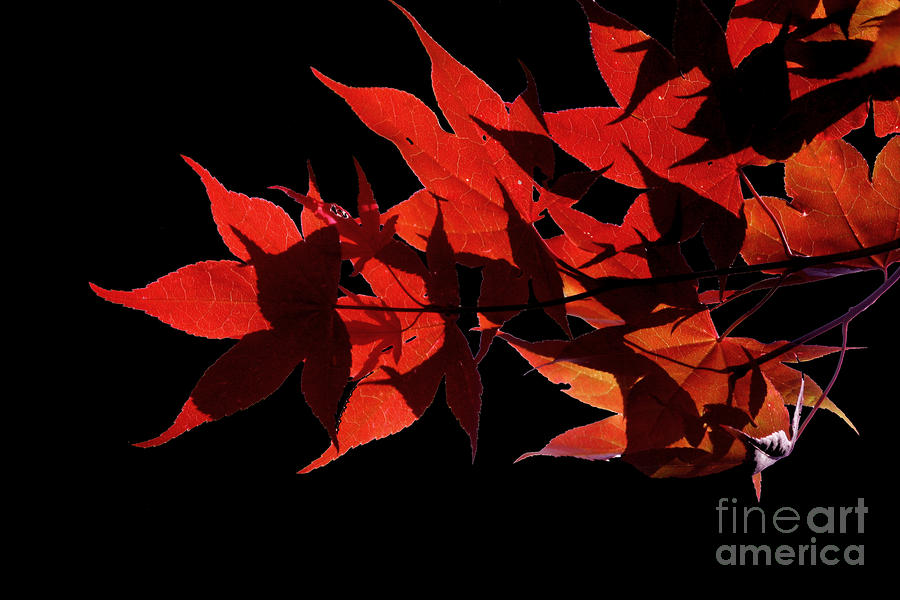 Leaves Of Red Photograph