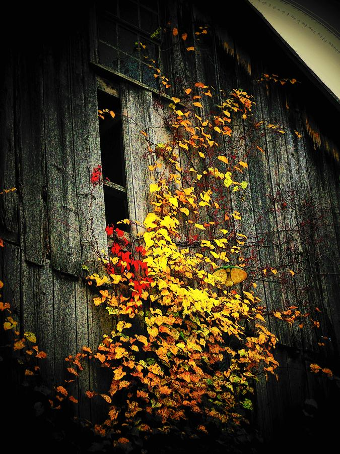 Leaves On An Old Barn Photograph  - Leaves On An Old Barn Fine Art Print
