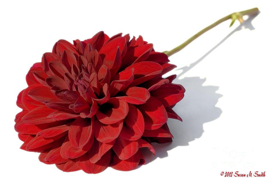 Flower Photograph - Leggy Dahlia  by Susan Smith