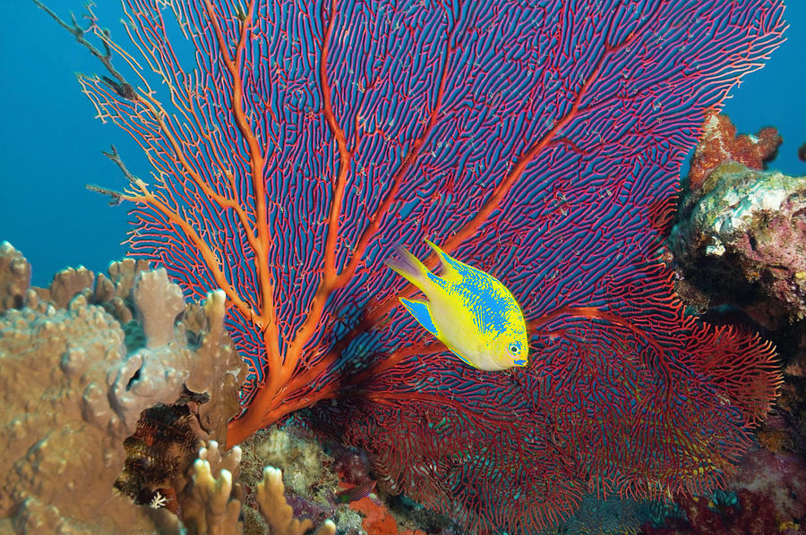 ... (pomacentrus Moluccensis) And Gorgonian Sea Fan by Rene Frederick