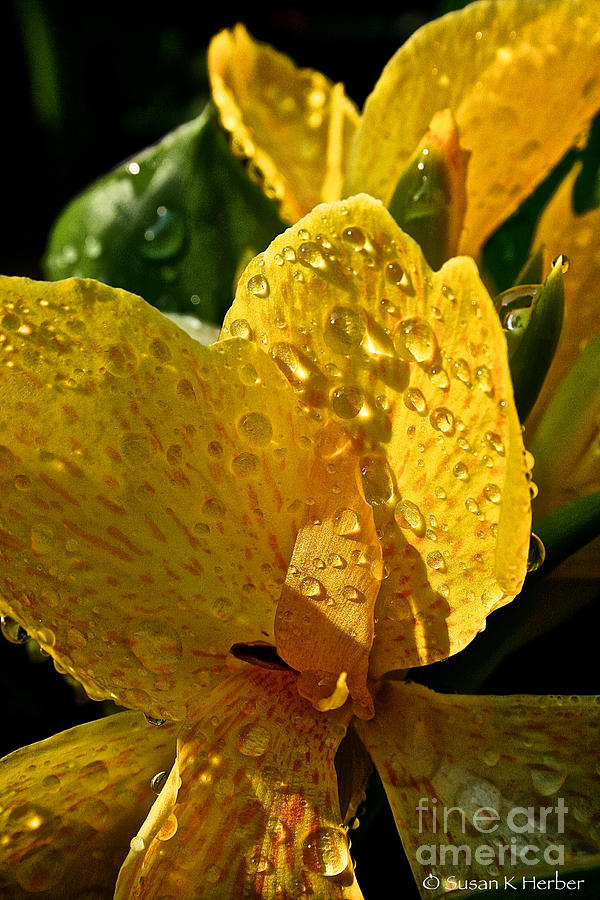 Lemon Drop Canna Lily Photograph  - Lemon Drop Canna Lily Fine Art Print