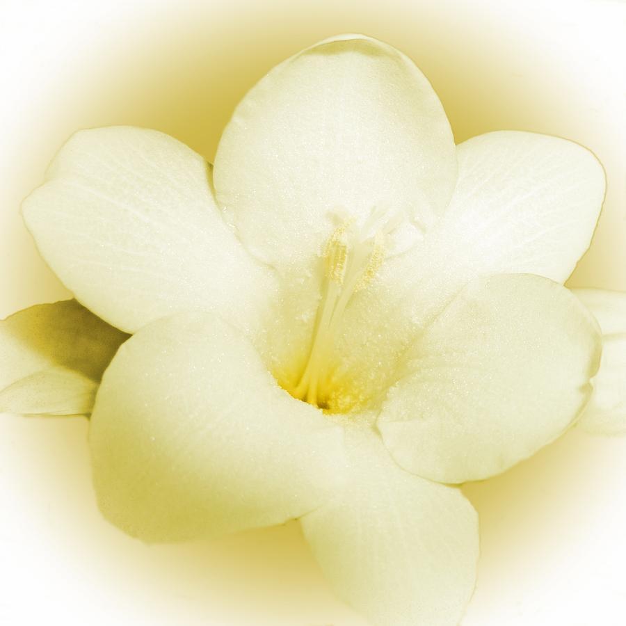 Lemon Freesia Photograph