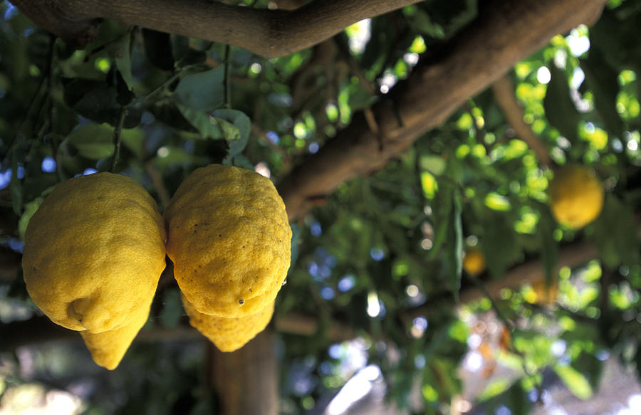 Lemons Hanging From A Lemon Tree Photograph  - Lemons Hanging From A Lemon Tree Fine Art Print
