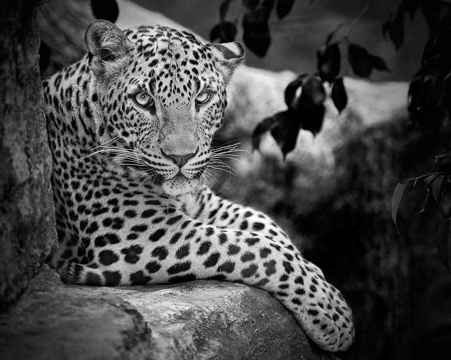 Leopard Photograph