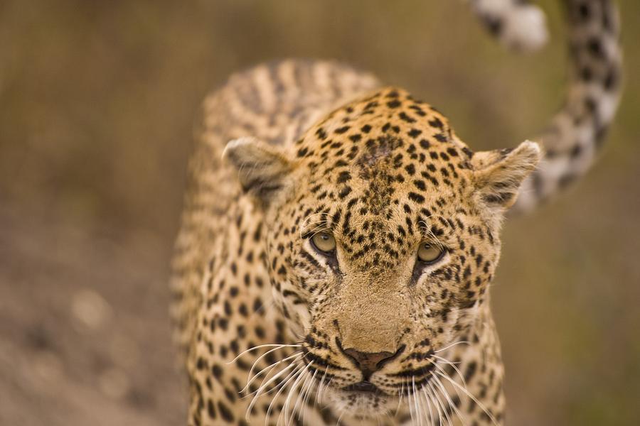 Leopard Panthera Pardus, Arathusa Photograph