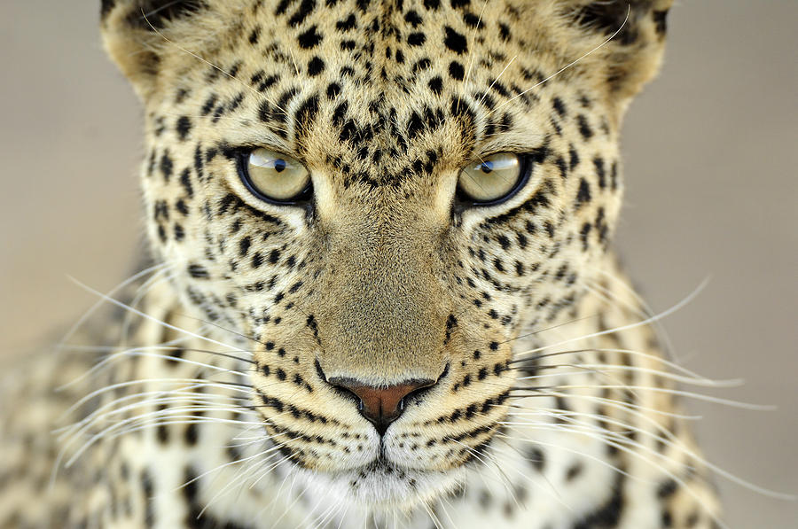Leopard Panthera Pardus Female Photograph  - Leopard Panthera Pardus Female Fine Art Print